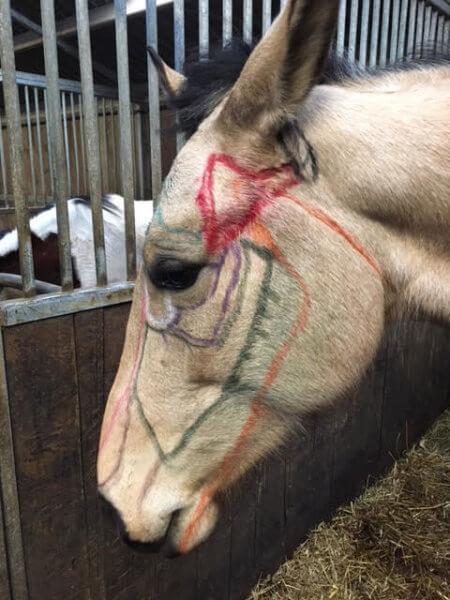 Anatomie tête de cheval
